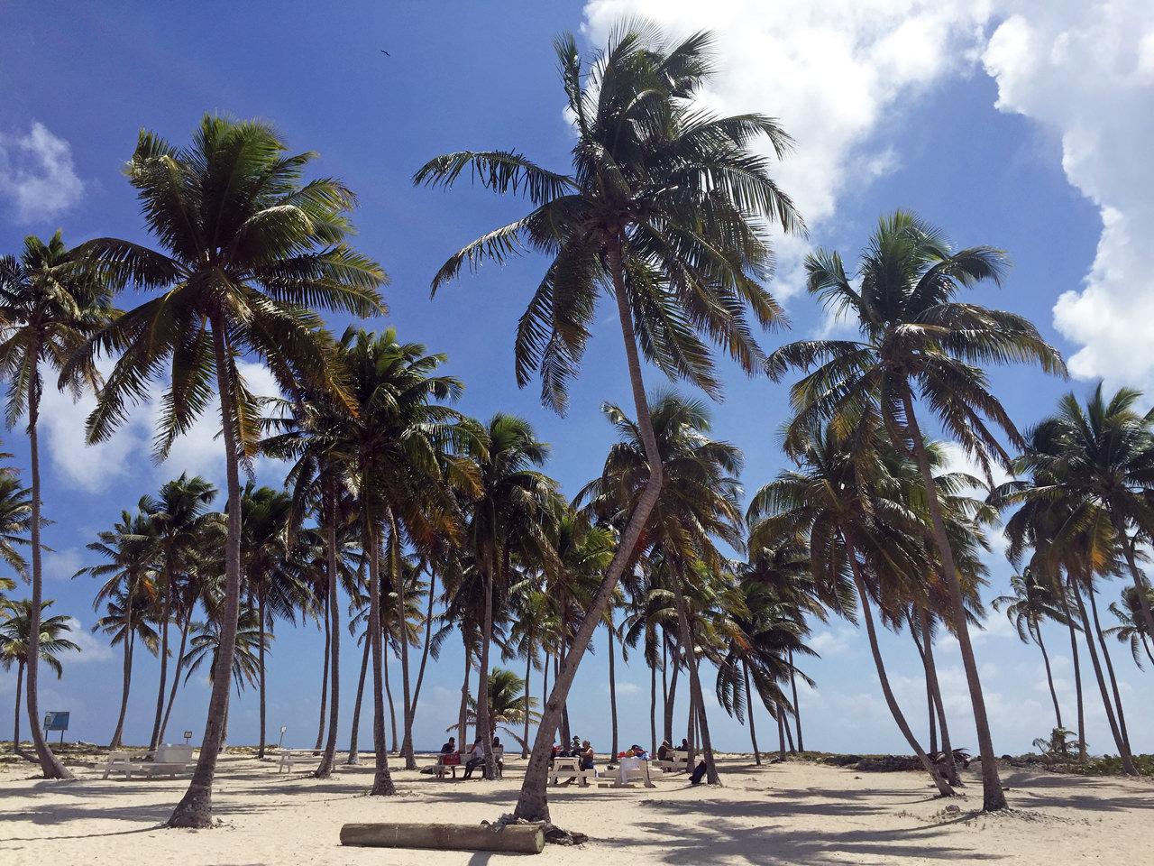 ヤシの木とココナッツ